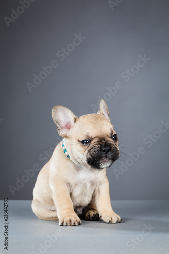 Poster Bouledogue français French Bulldog Puppy Looking to the Right, Wearing Bright Blue Collar