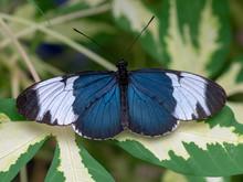 Sapho Longwing (Heliconius Sapho)