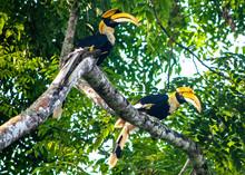 2 Great Hornbills