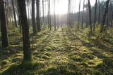 Fototapeta Na ścianę - Drzewa, drzewa, drzewa... i słońce w lesie niedaleko Puszczy Białowieskiej w Polsce