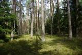 Fototapeta  - Drzewa, drzewa, drzewa... i słońce w lesie niedaleko Puszczy Białowieskiej w Polsce