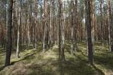 Drzewa, drzewa, drzewa... i słońce w lesie niedaleko Puszczy Białowieskiej w Polsce