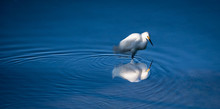 Snowy Egret With Reflection In Cool Blue Water.