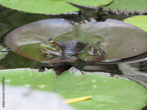 Tuinposter Kikker A frog resting on top of a lily pad in a man made pond