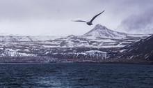 Flying Bird In Olafsvik, Iceland