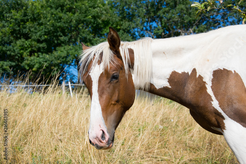 Photo  white brown horse