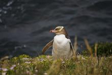 Yellow Eyed Penguin In New Zea...