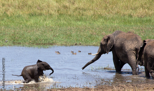 Foto op Plexiglas Olifant Elephants playing and drinking in water.