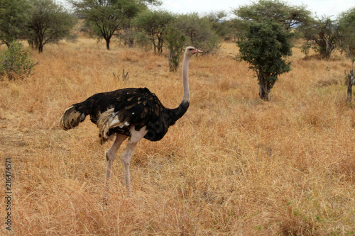 Large african ostrich walking in the dry plains of Tanzania.