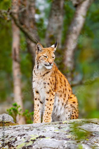 Foto auf Leinwand Luchs Eurasian lynx sitting on a rock in forest at summer
