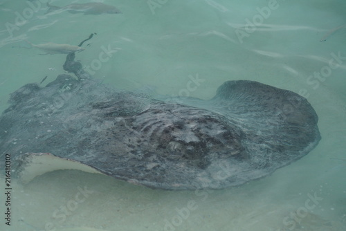 Fotografie, Obraz  Stingray along the shoreline of a beach in The Maldives
