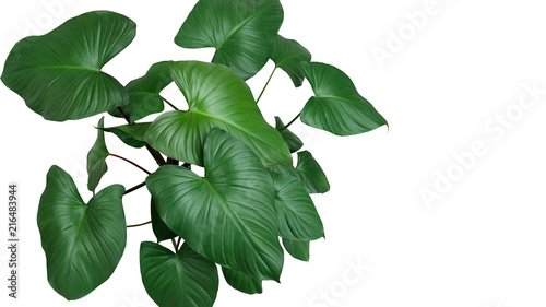 Poster Vegetal Heart shaped dark green leaves of Homalomena plant (Homalomena Rubescens) the tropical foliage houseplant isolated on white background, clipping path included.