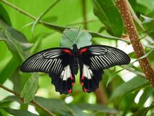 A Scarlet Mormon Butterfly Spr...