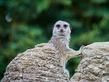 A Lone Meerkat Keeping Watch A...