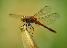A Single Red Vagrant Darter Dr...