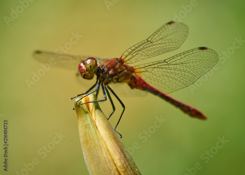 Fotografia, Obraz  A single red Vagrant Darter dragonfly resting in the sun
