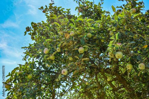 Obraz na plátně Alter Apfelbaum unter blauen Himmel