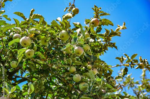 Fotografie, Obraz Alter Apfelbaum unter blauen Himmel