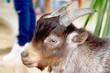 Closeup brown goat