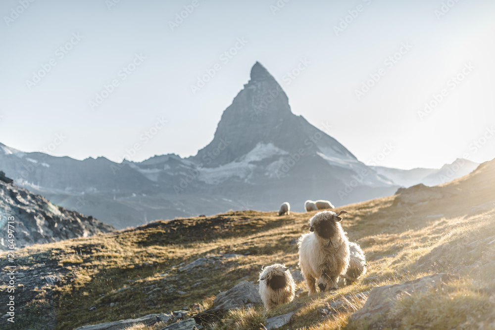 Photo Art Print Matterhorn Blacknose Sheep Zermatt