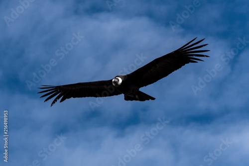 Foto op Plexiglas Zuid-Amerika land Condor of the Andes biggest bird of the world from Peru