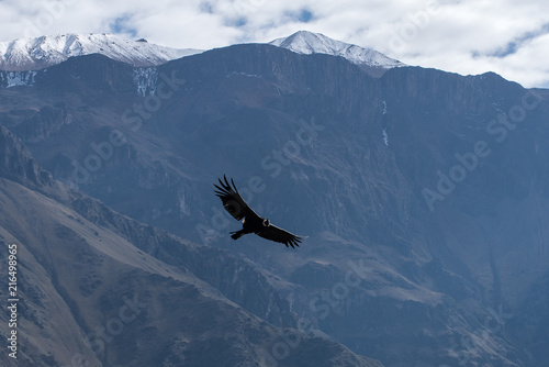 Poster Zuid-Amerika land Condor of the Andes biggest bird of the world from Peru