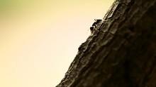 Black Ant On A Tree Bark