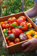 Freshly Picked Heirloom Tomato Harvest: Pear Shaped, Beef Heart, Tigerella, Brandywine, Cherry, Black. In Wooden Box