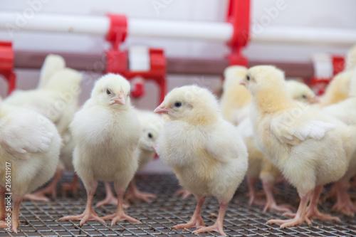 chickens on a small farm Fototapeta