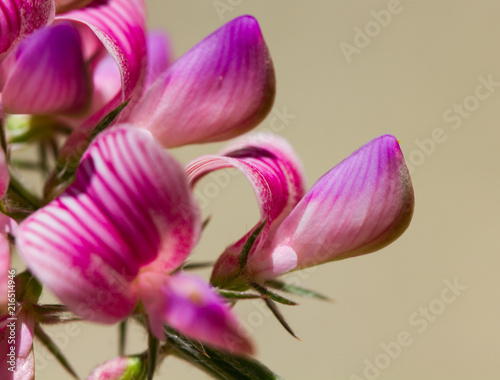 Foto op Plexiglas Magnolia fleur de sainfoin