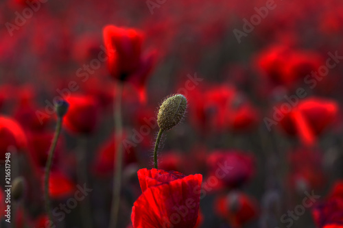 Poster Bordeaux Flowers Red poppies blossom on wild field. Beautiful field red poppies with selective focus. Red poppies in soft light. Opium poppy. Glade of red poppies. Toning. Creative processing in dark low key