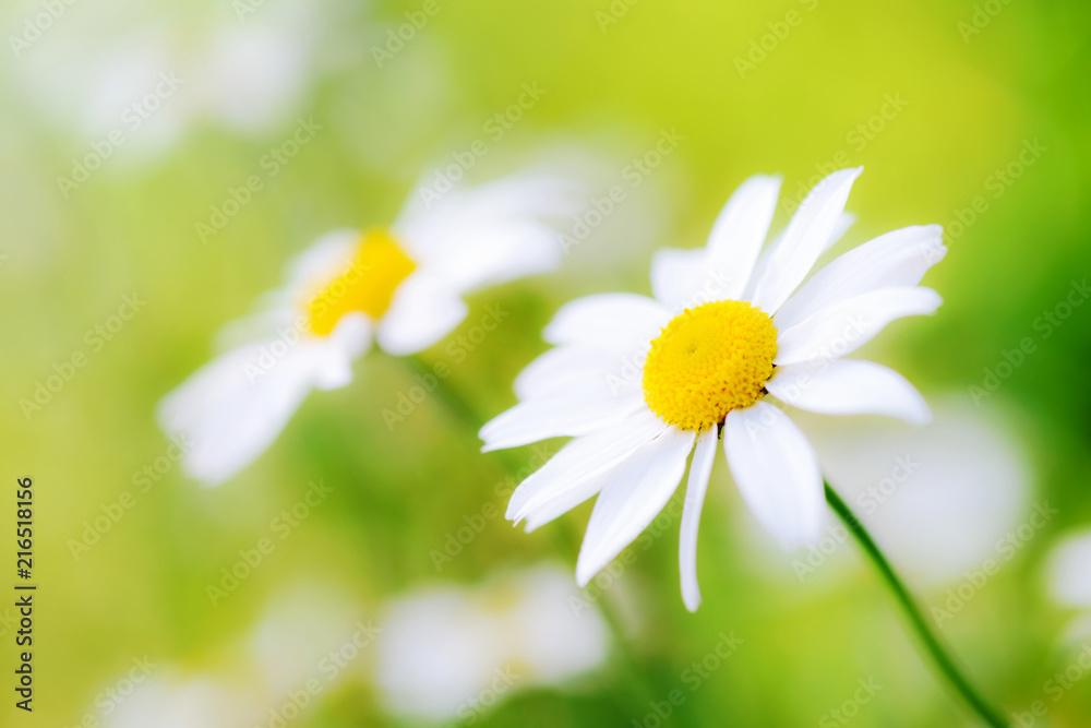 Fototapeta White camomiles daisy flowers  on green meadow