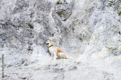 Vászonkép Beautiful faithful thoroughbred obedient Japanese Akita Inu dog sits on a profile on a limestone rock in the summer