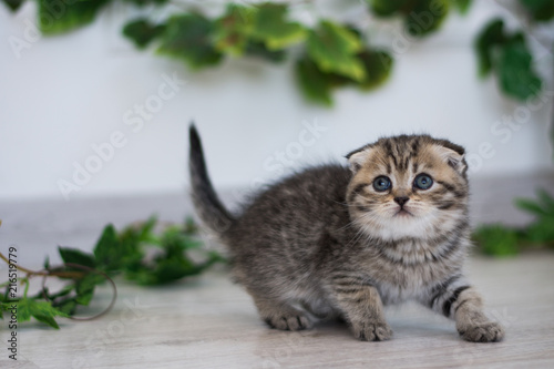 Fotografie, Obraz  kitty cat munchkin fluffy, animal
