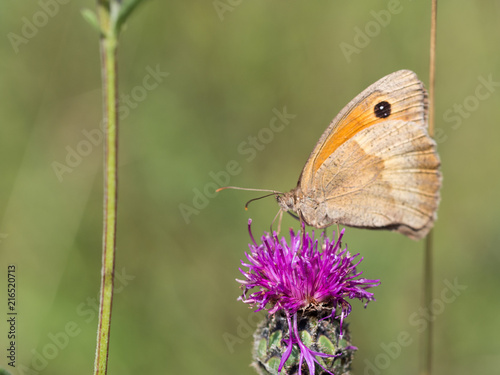 Poster Vlinder The meadow brown (Maniola jurtina) butterfly sitting on a flower