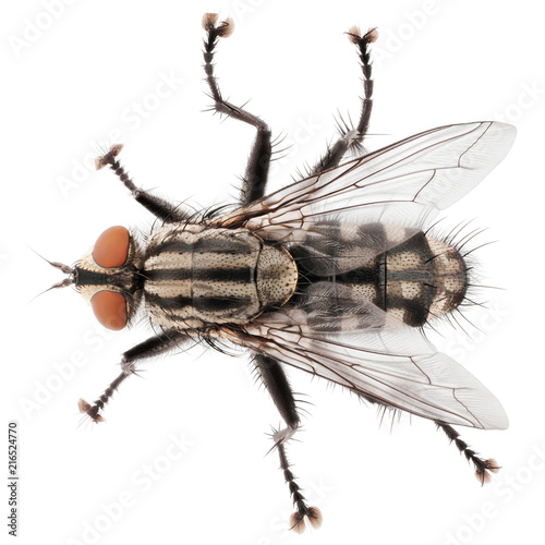 Macro shot of fly isolated on white background. Top view of house fly insect