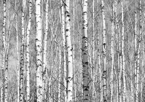 Fototapety, obrazy: Black and white photo of black and white birches in birch grove with birch bark between other birches