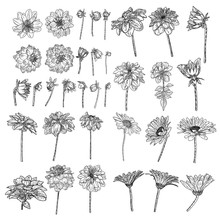 Large Set Of Drawings Daisy, Dahlias, Zinnia And Gerbera Flower With Closed And Half Open Buds . Floral Hand Drawn Botanical Element Illustration. Vector.