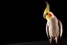 Cockatiel Portrait, Cute Parakeet Posing, Isolated On Black Background, Studio