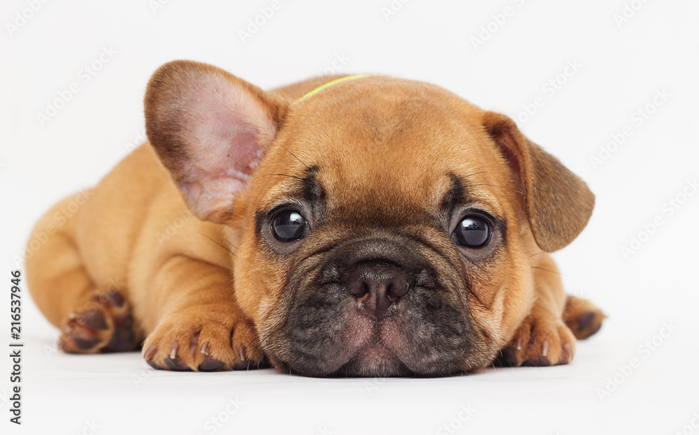 Fototapety, obrazy: cute puppy looking