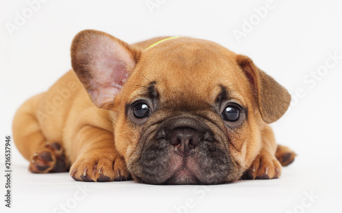 Stickers pour portes Bouledogue français cute puppy looking