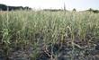Vertrocknete Maispflanzen, Dürre in Schleswig-Holstein / Deutschland Sommer 2018