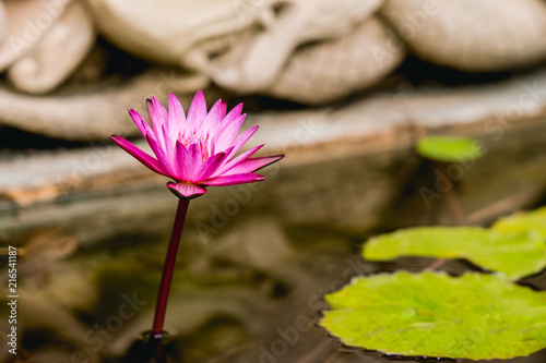 Foto op Canvas Lotusbloem A beautiful bright pink lotus flower is complimented on the clear water in front of the statue at some temple.