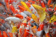 Carp Fish Colorful Background.