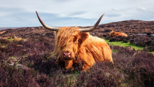 Highland Cattle Near Applecross