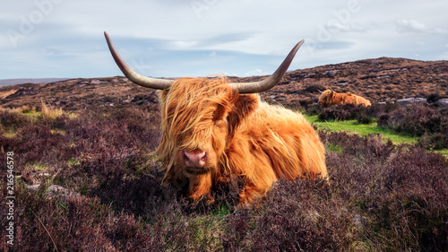 Fototapeta Highland cattle near Applecross obraz