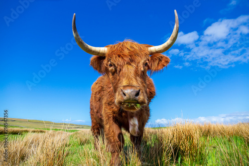 Poster Texas Highland cattle on a meadow near Culkein