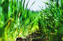 Macro Close-up Of Wheat Grass ...
