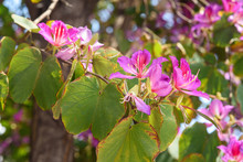 Pink Flowers Bauhinia. Orchid ...