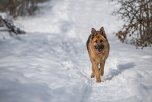 German Shepperd Dog Walking In The Snow